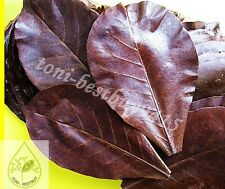 20 pcs.x Size 5-6 Indian Almond Leaf Catappa Leaves Ketapang Betta Cherry Shrimp