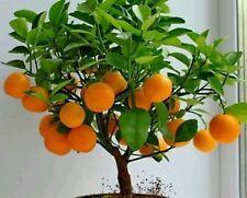 bonsai Mandarin Orange Bonsai Tree, seeds 7 (include maintain steps)