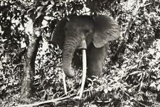 1934 Vintage Print 11x14 AFRICA ~ Belgian Congo Elephant Tusk Jungle Photo Art