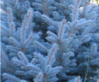ABETO AZUL  Picea  pugens glauca  30 Semillas Seeds Samen Graines