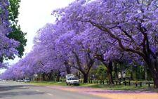 Palisanderbaum Jacaranda mimosifolia 10 Samen