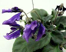 African Violet Spootnik (Vintage)- Starter Plant/Plug