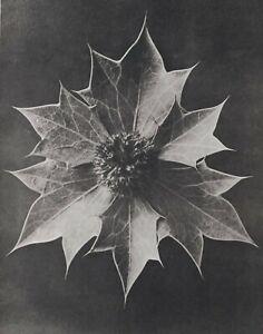 1942 Original Aufdruck Foto Gravur Platte 57 Karl Blossfeldt Abstrakt Botanische