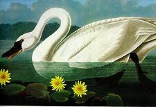 "Audubon""s SWAN  Print  genuine mint condition !"