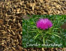 40 gramos de Semillas de Cardo Mariano (Silybum marianum) seeds