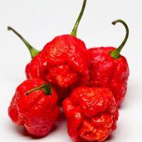 7 Pot Pod Brain Strain Red Hot Chili Pepper Seeds 25 PCS EXCEPTIONALLY HOT!