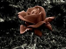 20+ Chocolate Rose Bush Seeds - Rare,  & Beautiful   USA SELLER, SHIPS FREE
