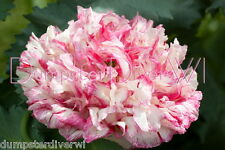 Candy Kiss Poppy semi-double masses of showy pink rose blooms annual 40 seeds