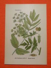 Pastinak (Pastinaca sativa), Thome Lithographie 1890