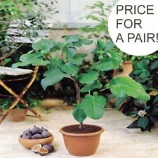 Fig Trees Pair 20-30cm Tall Edible Sweet Fruit Hardy Unusual Gift 9cm Pots