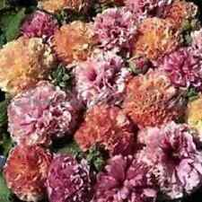 50+ Alcea Rosea Double Hollyhock Mix Flower Seeds / Perennial