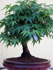 Bonsai Jap.Fächerahorn Acer Palmatum in TOKONAME Schale Akadama Kanuma Azalee