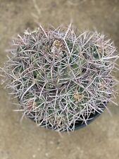 Barrel Cactus Echinocactus polycephalus Cotton Top Awesome! 8Heads!