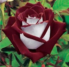 20+ WHITE AND RED OSIRIA Rose Bush Seeds  & Beautiful  USA SELLER