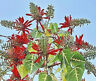 Erythrina Variegata, tiger's claw Indian Coral Tree tropical fresh seed 10 seeds