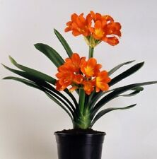 TWINS CLIVIA miniata orange-red double flower spikes shade plant in 100mm pot