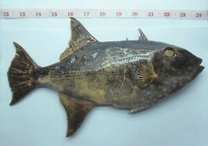 Largescale triggerfish Canthidermis  Fish Taxidermy Freeze Dried Oddities Curios