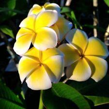 """Plumeria Cutting Rubra Yellow 10""""-12"""" Multi tip"""