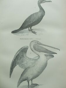 ANTIQUE PRINT C1870'S COMORANT COMMON PELICAN ENGRAVING PELECANIDAE BIRDS ART