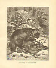 Glutton Or Wolverene, by Specht, Zoology, Vintage, 1885 Antique Art Print.