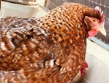 6+ German Bielefelder Hatching Eggs Gf imports 2011 and 2013 - Rare Breed-Uber