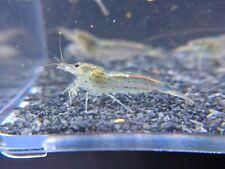 Amano Shrimps_Algae Eating Shrimp_Live Aquarium Shrimp_Shrimpy Business