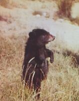 Postcard, Bear Posing, Wild Animals, plastichrome Vintage, P36