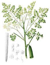 15 semillas de Moringa, arbol Milagroso (Moringa oleifera) seeds