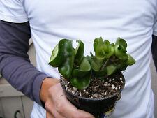 Hoya Hindu Rope Plant