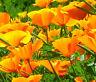 CALIFORNIA POPPY ORANGE Eschscholzia Californica - 10,000 Bulk Seeds
