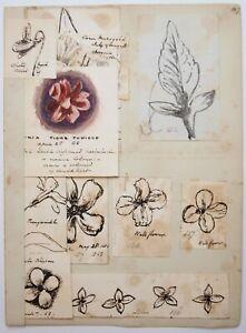 Richard Suter (1797–1883). Botanical illustrations Wallflower, Periwinkle etc