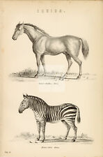Mammals Equidae - Horse and Zebra - Antique 1880's Artwork #B198