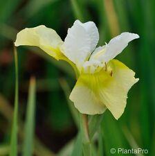Sibirische Schwertlilie ( Iris sibirica ' Butter and Sugar ' ) Frostfest