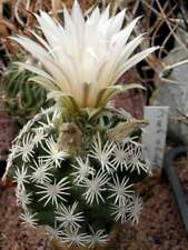 Escobaria abdita VZD1313,seeds10 pcs