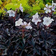 Pack x3 Hardy Geranium Pratense Purple Midnight Ghost' Perennial XXL Plug Plants
