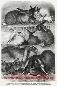 Rabbit Domestic Breeds 6 Identified, Large 1870s Antique Engraving Print