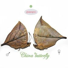 PAIR  unmounted butterfly Nymphalidae kallima inachus GUANGXI SPRING FORM