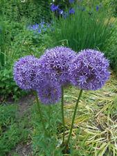 Allium Zierlauch --  BLAU/LILA --  Ambassador Frühlingsblüher je 50 Samen