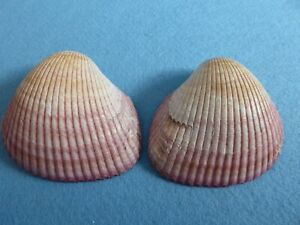 ONE COMPLETE giant pink Indian cockle sea shell - both halves. Collection etc