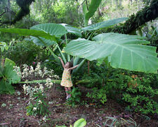 HOT 50 pcs Colocasia Plant Jacks Giant Elephant Ear Seeds