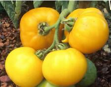 20 graines de TOMATES LEMON BOY BIO