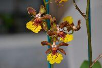 Rare orchid hybrid (seedling) - Trichocentrum Kuquat