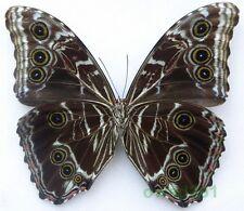 Morpho deidamia Hübner, 1816 119mm Peru