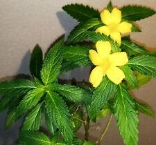 Damiana Turnera diffusa, Turnera aphrodisiaca 30seeds