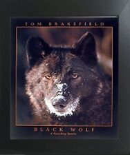 Black Wolf (A Vanishing Species) Contemporary Black Framed Art Print Picture