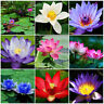 10pcs Bowl Lotus Flower Seeds Aquatic Plants Fragrance Blooming Water Lily Seeds