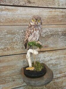 Owl taxidermy. long-eared owl. Hedwig フクロウ Latin: Asio otus