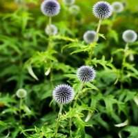 Globe Thistle- (EchinopsRitro)- White- 25 Seeds- BOGO 50% off SALE