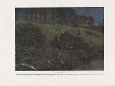 Leuchtkäfer Glühwürmchen Lampyridae FARBDRUCK von 1912 Firefly
