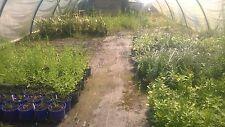 Buxus box hedge 20-30cm high